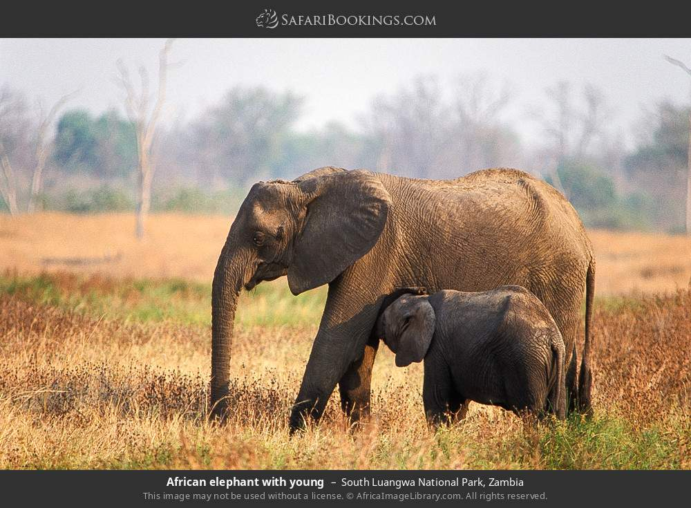 African elephant with young in South Luangwa National Park, Zambia