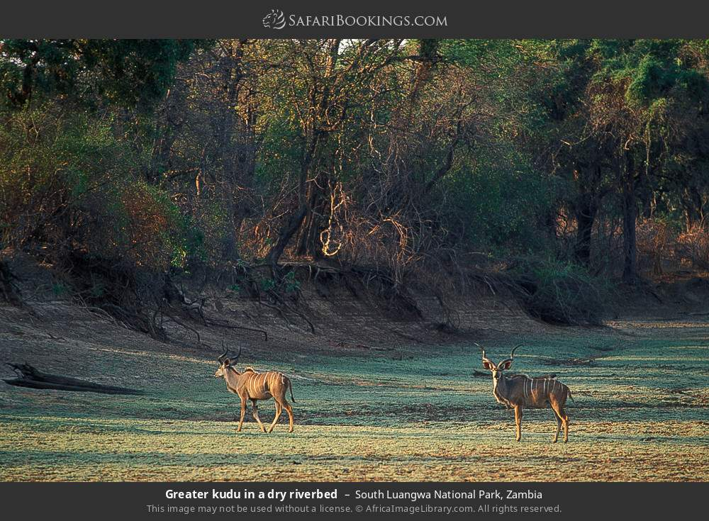 Greater kudu in a dry riverbed in South Luangwa National Park, Zambia