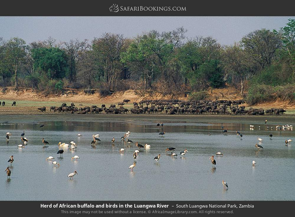 Herd of African buffalo and birds in the Luangwa River in South Luangwa National Park, Zambia