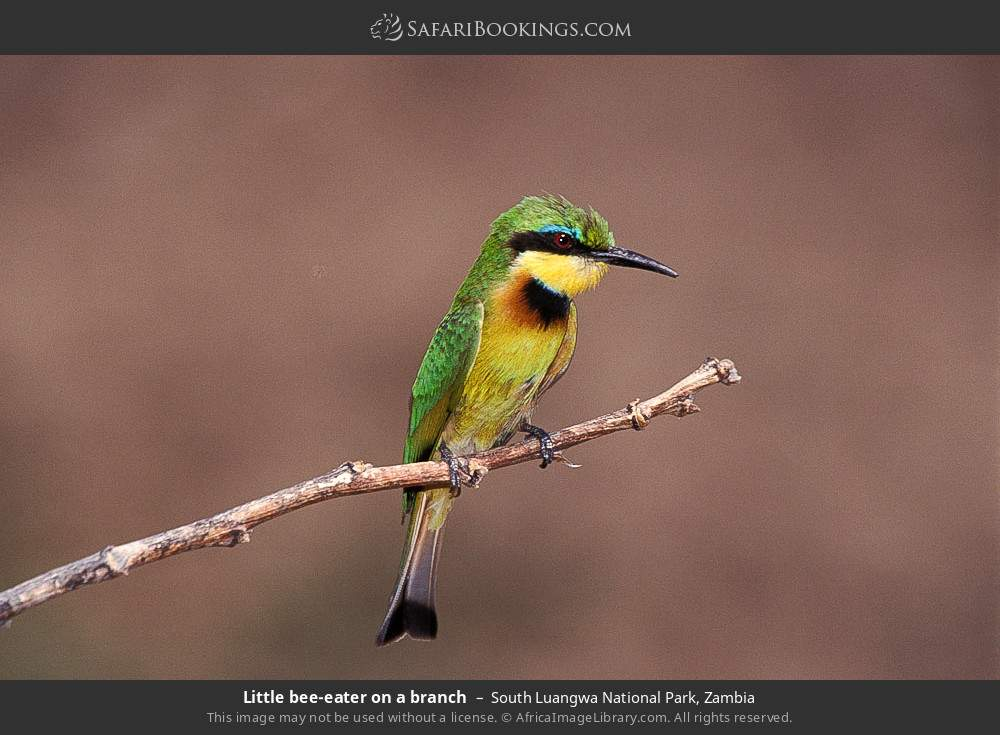 Little bee-eater on a branch in South Luangwa National Park, Zambia
