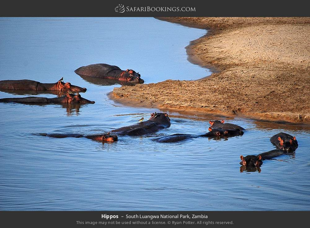 Hippos in South Luangwa National Park, Zambia