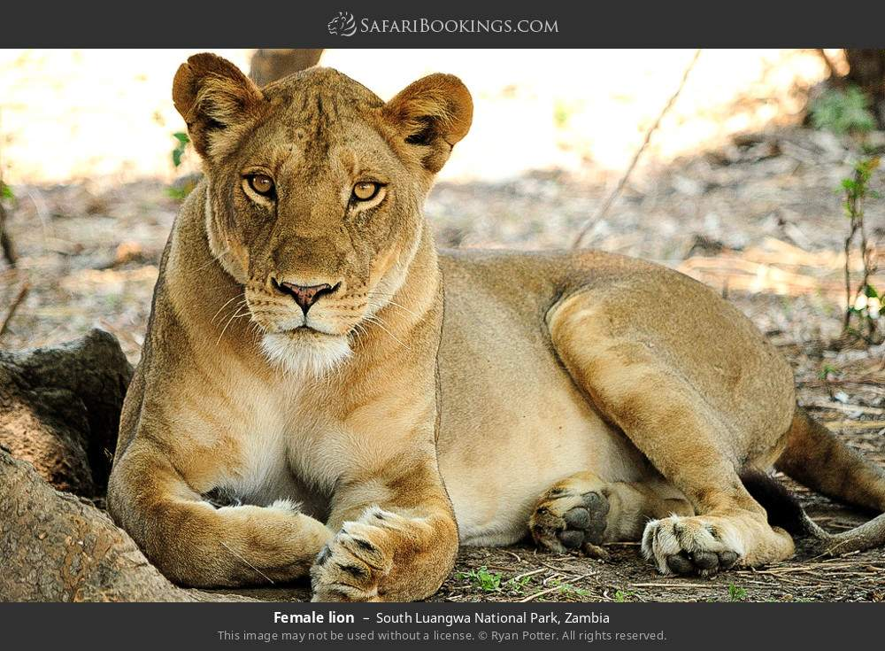 Female lion in South Luangwa National Park, Zambia