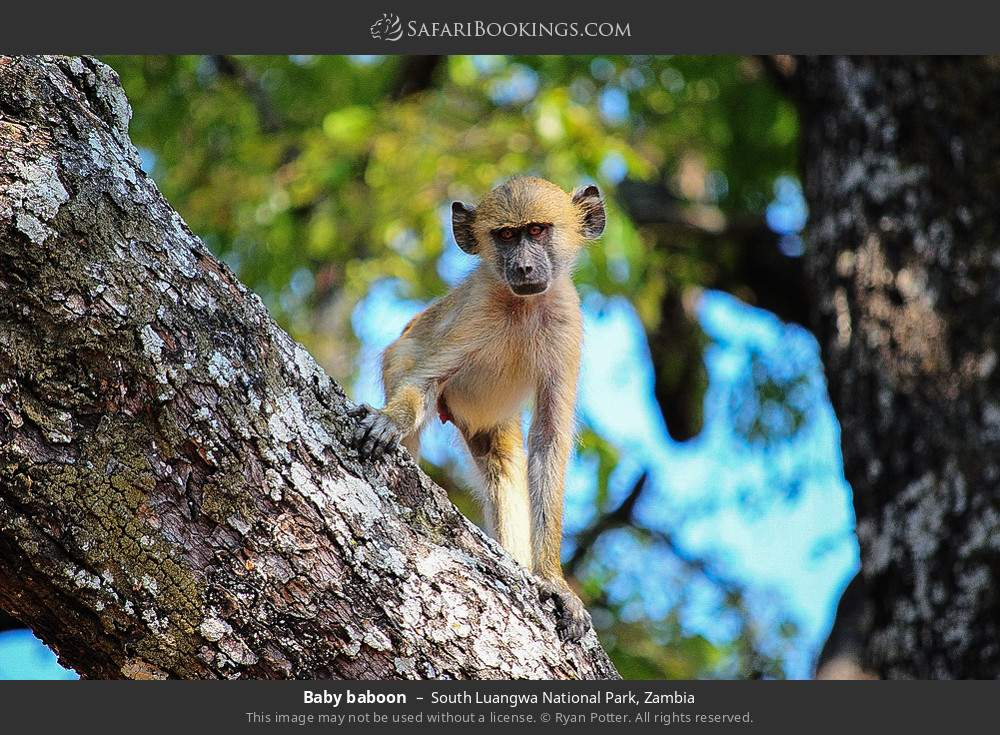 Baby baboon in South Luangwa National Park, Zambia