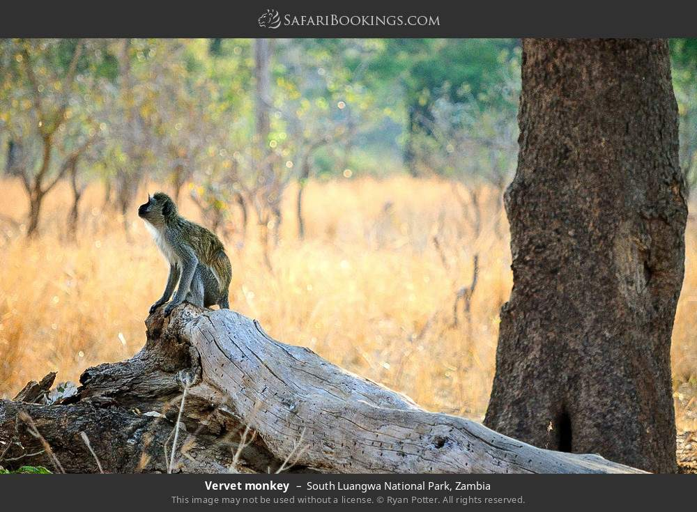 Vervet monkey in South Luangwa National Park, Zambia