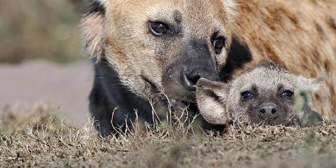 5-Day 4 Nights Ambiseli, Lake Naivasha, Masai Mara, Nrb