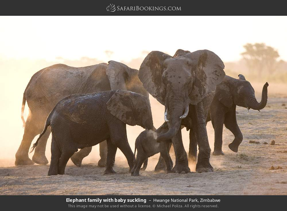 Elephant family with baby suckling in Hwange National Park, Zimbabwe