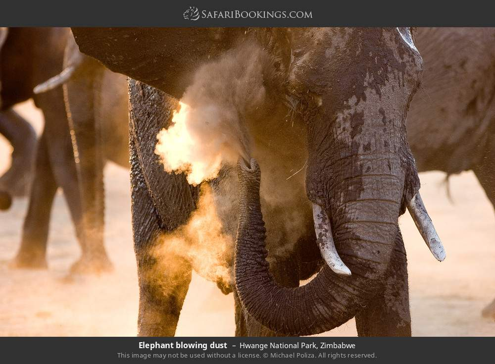 Elephant blowing dust in Hwange National Park, Zimbabwe