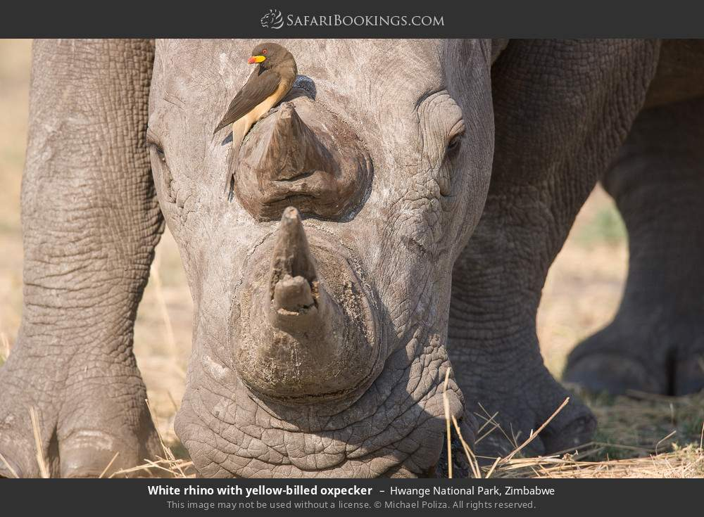 White rhino with yellow-billed oxpecker in Hwange National Park, Zimbabwe