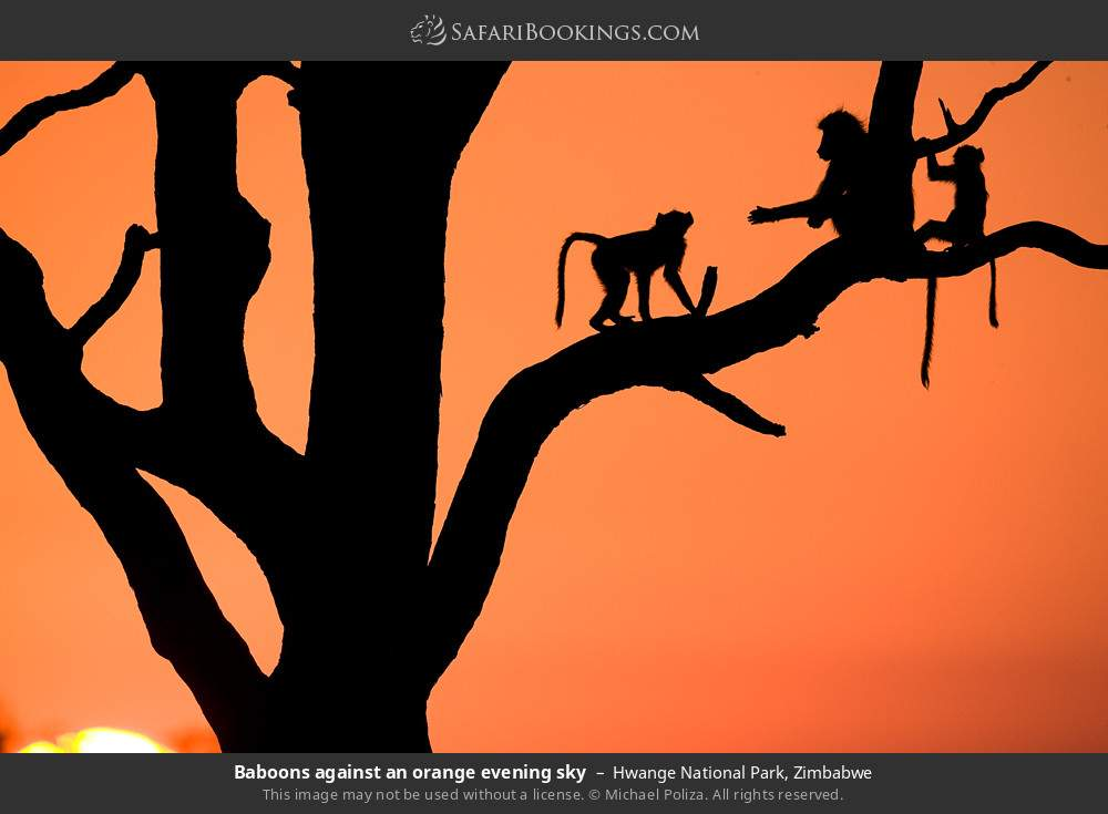 Baboons against an orange evening sky in Hwange National Park, Zimbabwe