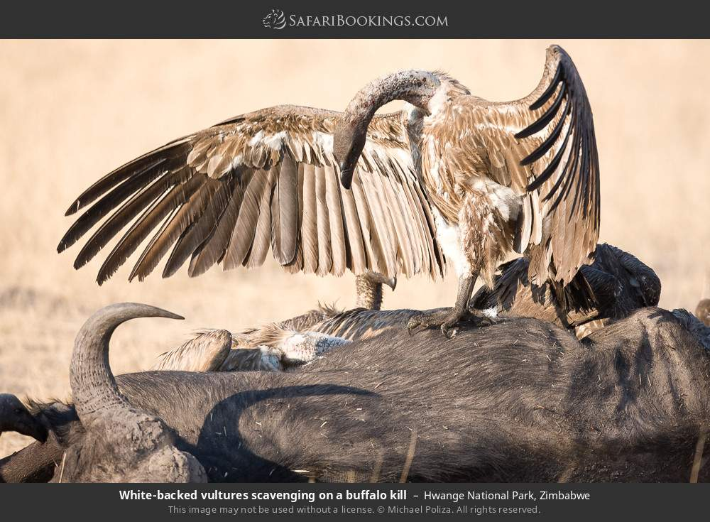 White-backed vultures scavenging on a buffalo kill in Hwange National Park, Zimbabwe