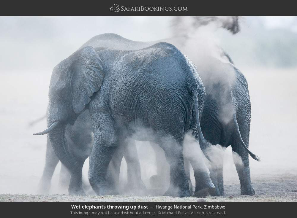 Wet elephants throwing up dust in Hwange National Park, Zimbabwe