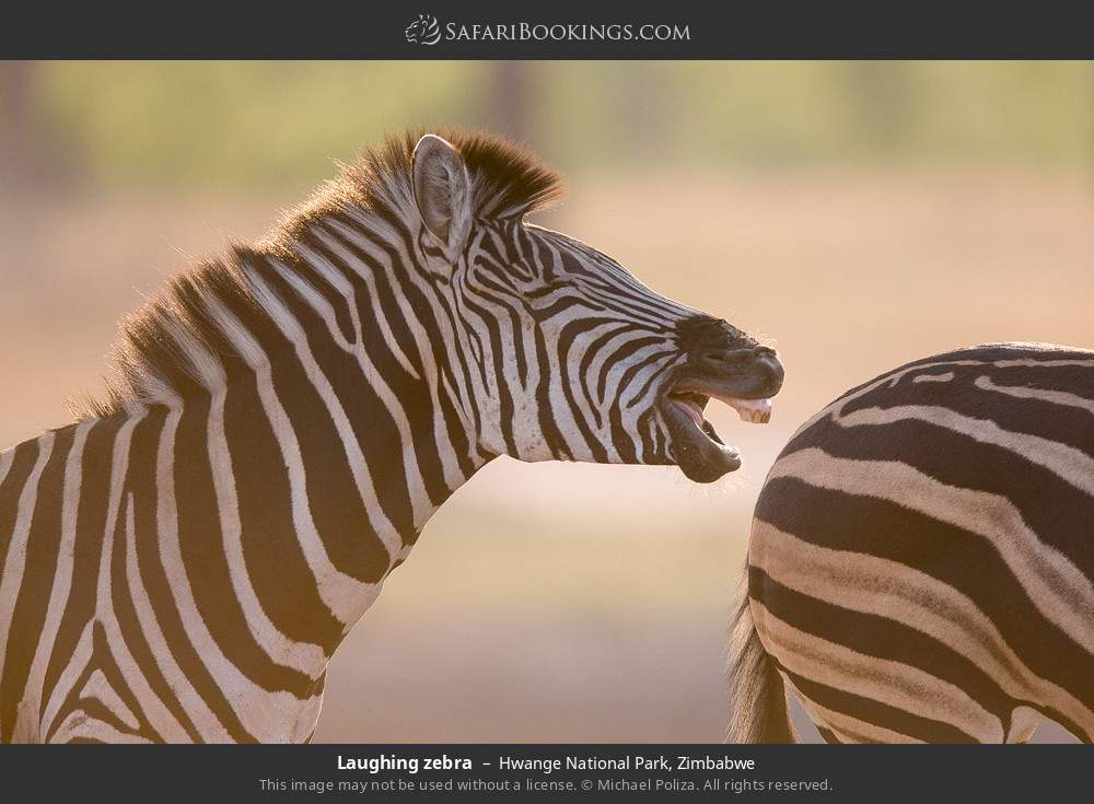 Laughing zebra in Hwange National Park, Zimbabwe