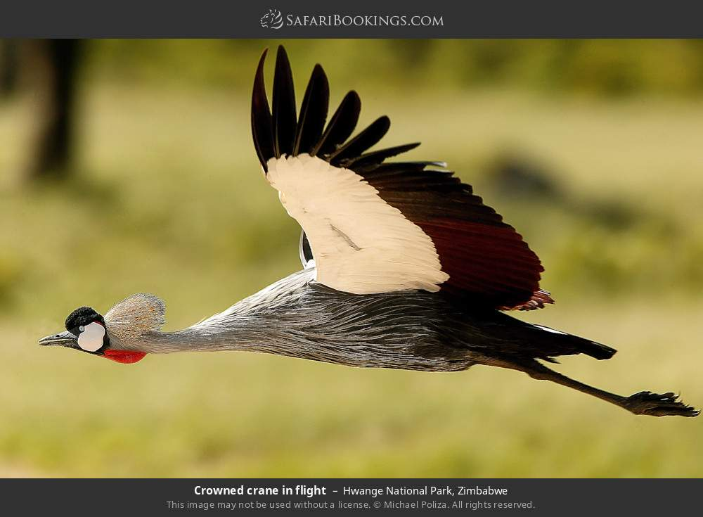 Crowned crane in flight in Hwange National Park, Zimbabwe