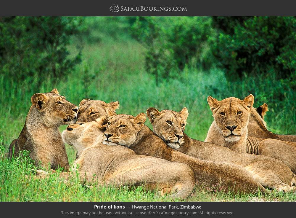 Pride of lions in Hwange National Park, Zimbabwe