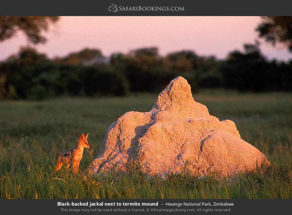 Black-backed jackal next to termite mound in Hwange National Park, Zimbabwe