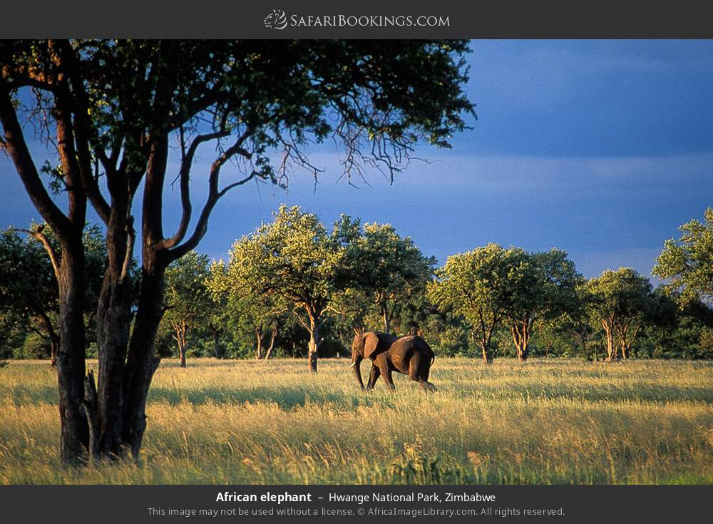 African elephant in Hwange National Park, Zimbabwe
