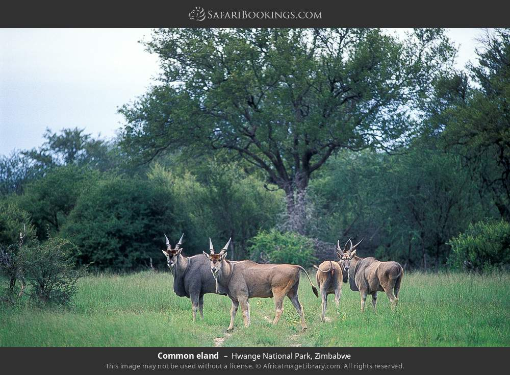Common eland in Hwange National Park, Zimbabwe