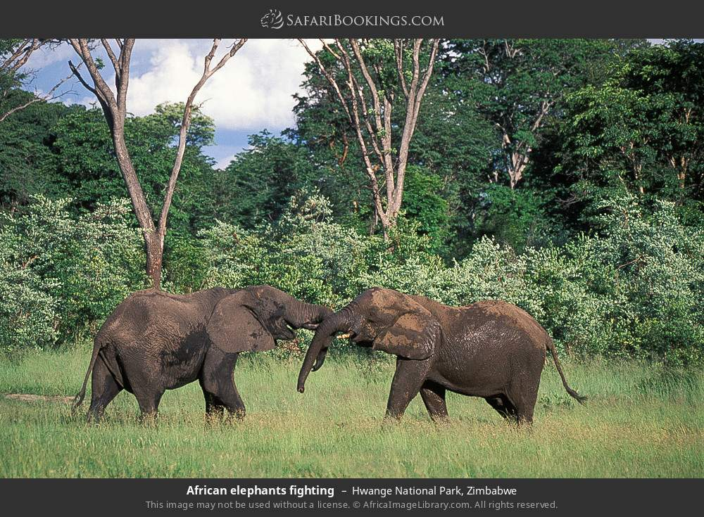 African elephants fighting in Hwange National Park, Zimbabwe