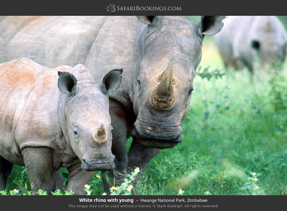 White rhino with young in Hwange National Park, Zimbabwe