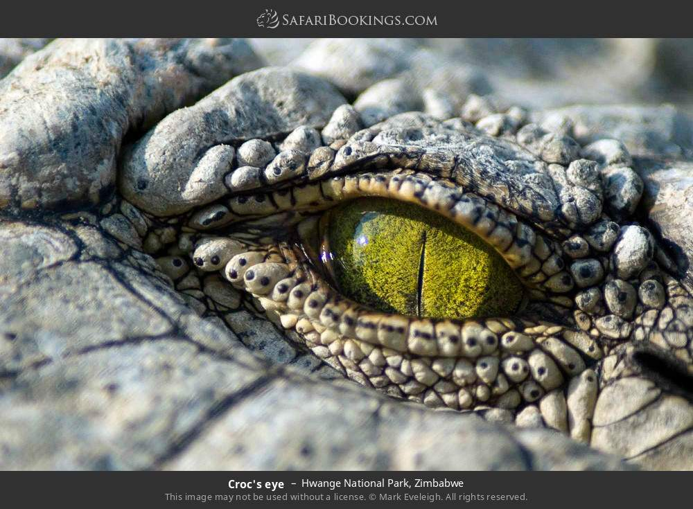 Croc's eye in Hwange National Park, Zimbabwe