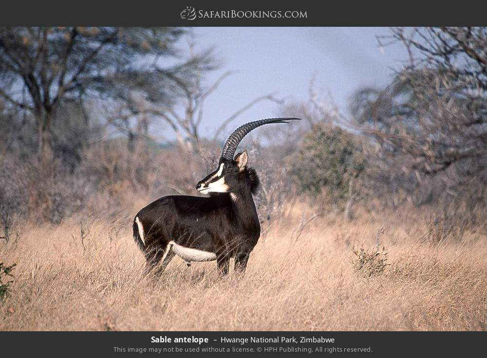Sable antelope in Hwange National Park, Zimbabwe