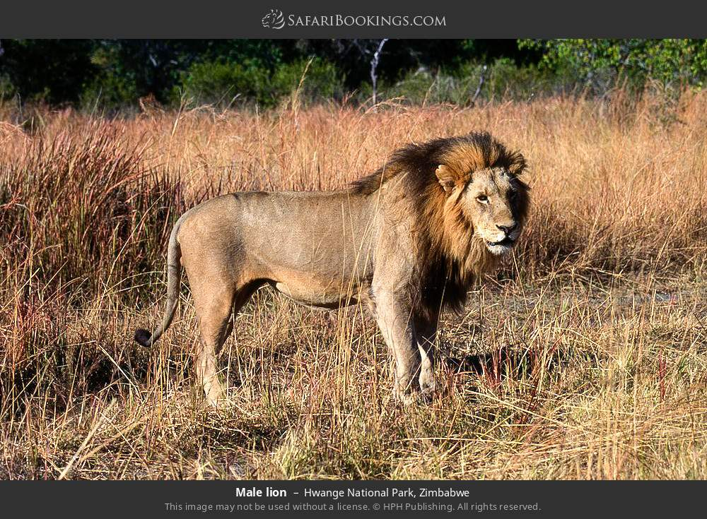 Male lion in Hwange National Park, Zimbabwe