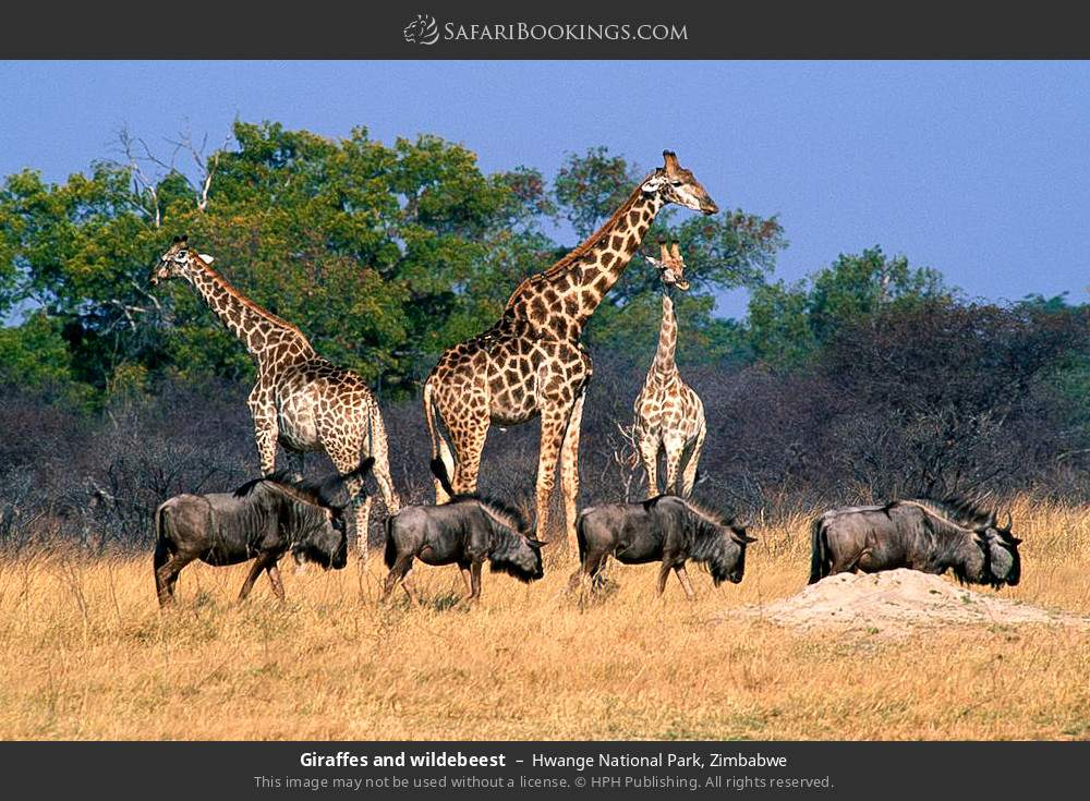 Giraffes and wildebeest in Hwange National Park, Zimbabwe