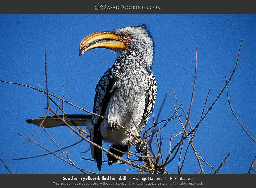 Southern yellow-billed hornbill in Hwange National Park, Zimbabwe