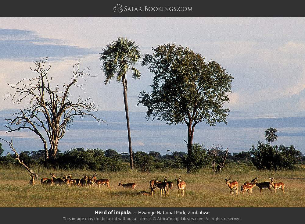 Herd of impala in Hwange National Park, Zimbabwe