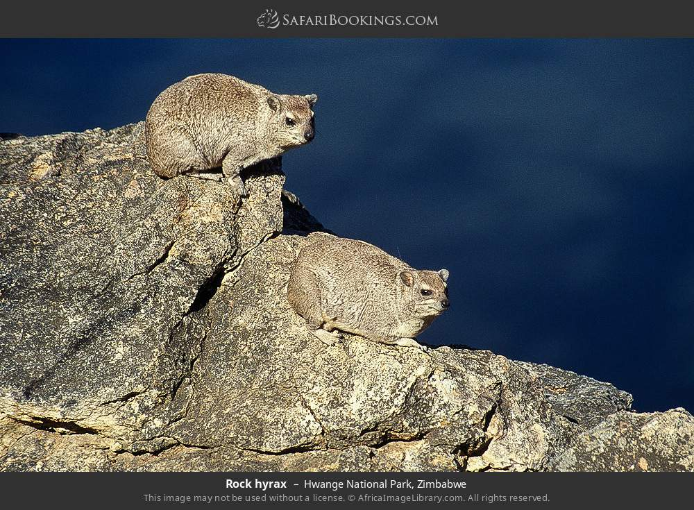 Rock hyrax in Hwange National Park, Zimbabwe