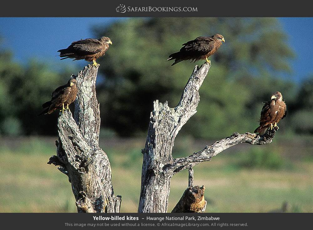 Yellow-billed kites in Hwange National Park, Zimbabwe