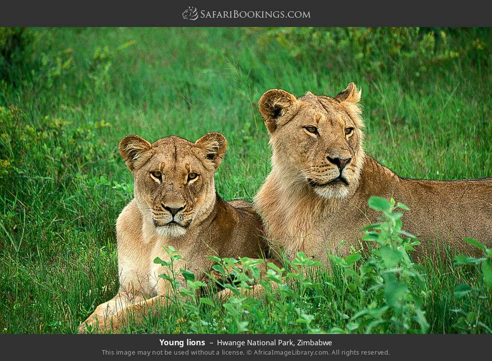 Young lions in Hwange National Park, Zimbabwe