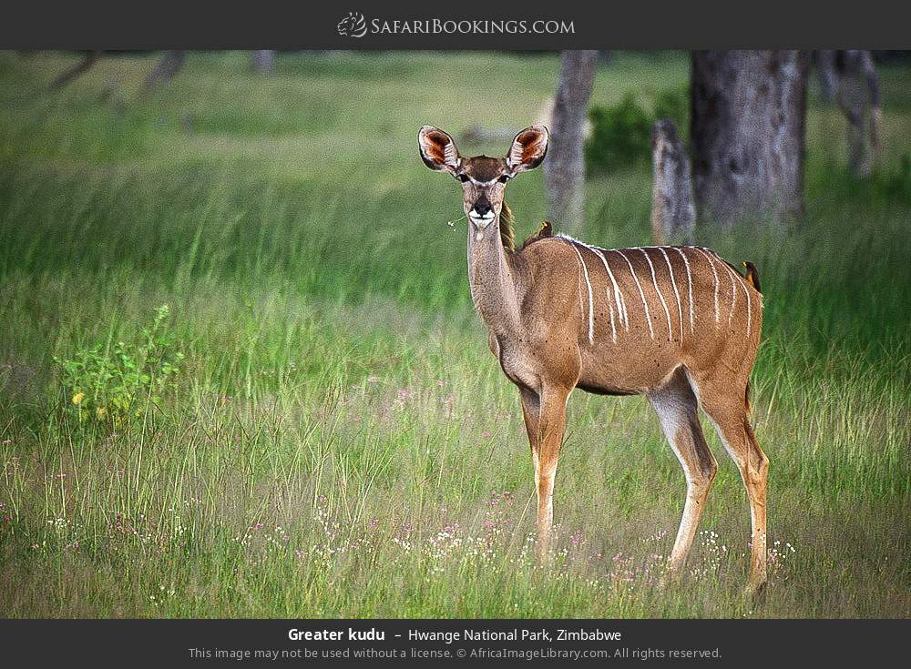 Greater kudu in Hwange National Park, Zimbabwe