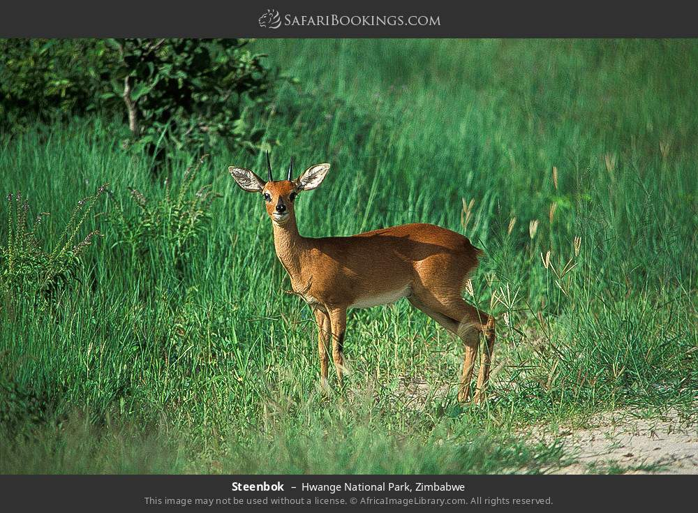 Steenbok in Hwange National Park, Zimbabwe