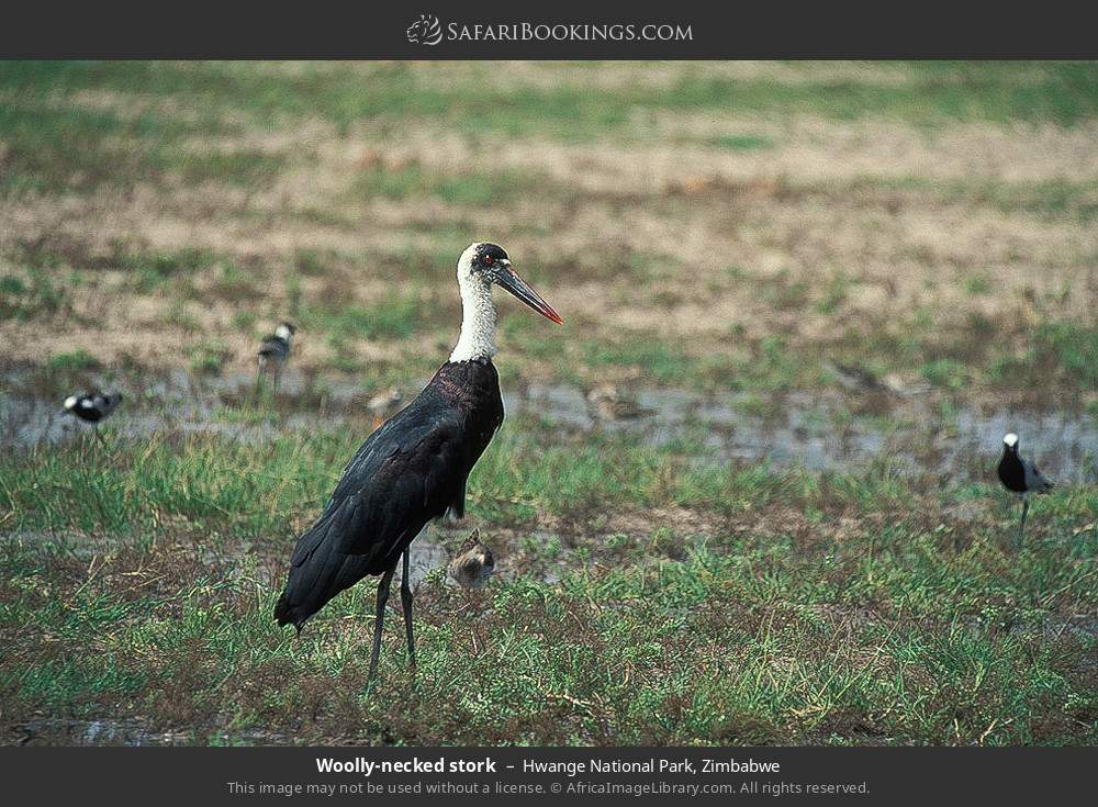 Wooley-necked stork in Hwange National Park, Zimbabwe