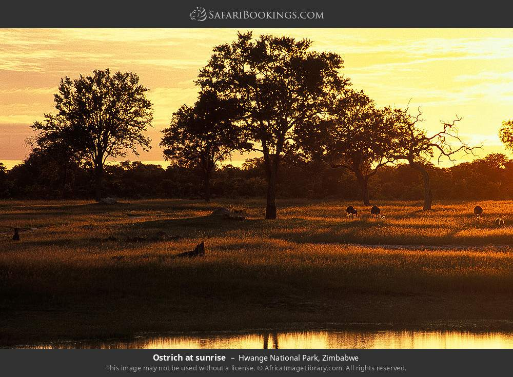 Ostrich at sunrise in Hwange National Park, Zimbabwe