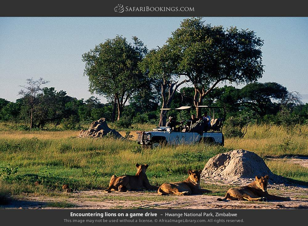 Encountering lions on a game drive in Hwange National Park, Zimbabwe