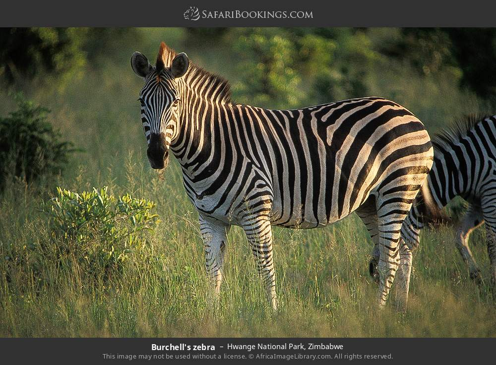 Burchell's zebra in Hwange National Park, Zimbabwe