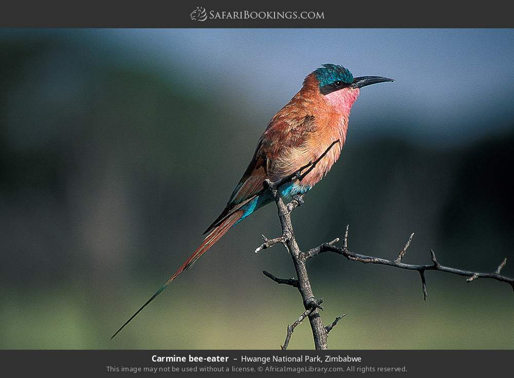 Carmine bee-eater in Hwange National Park, Zimbabwe