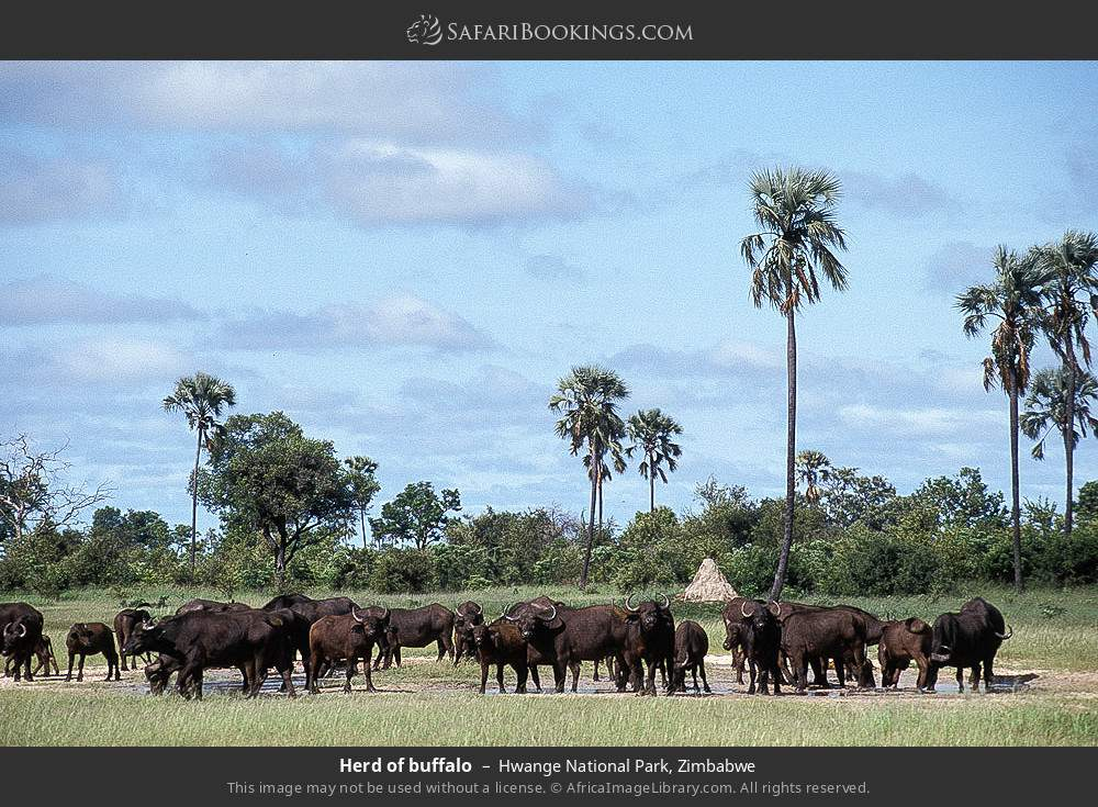 Herd of buffalo in Hwange National Park, Zimbabwe