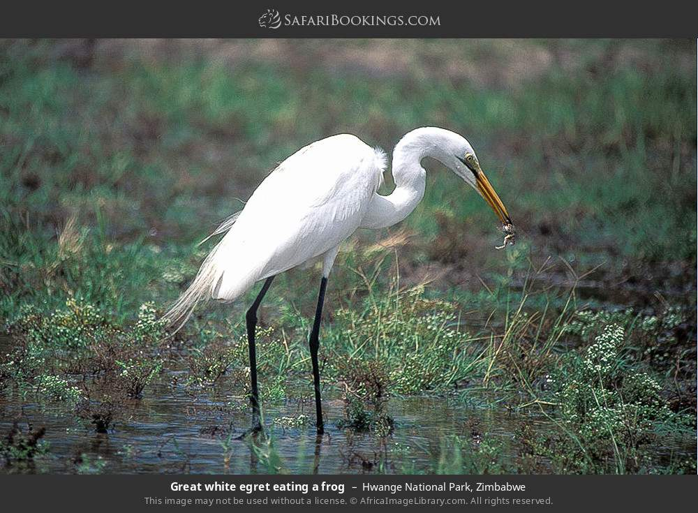 Great white egret eating a frog in Hwange National Park, Zimbabwe