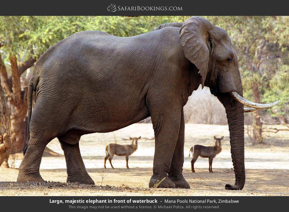 Large, majestic elephant in front of waterbuck in Mana Pools National Park, Zimbabwe