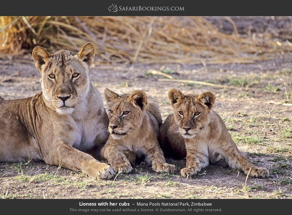 Lioness with her cubs in Mana Pools National Park, Zimbabwe