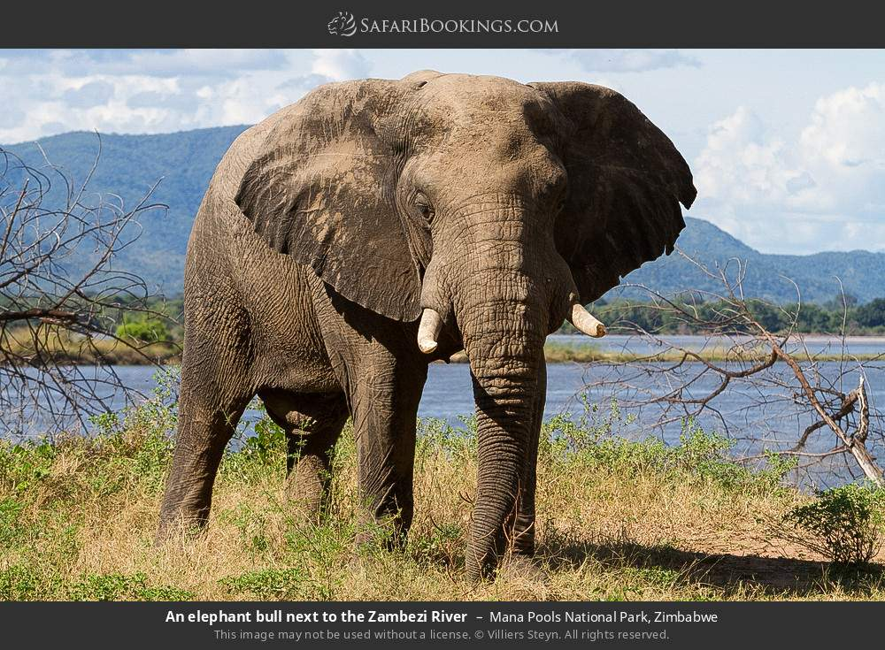 An elephant bull next to the Zambezi River in Mana Pools National Park, Zimbabwe