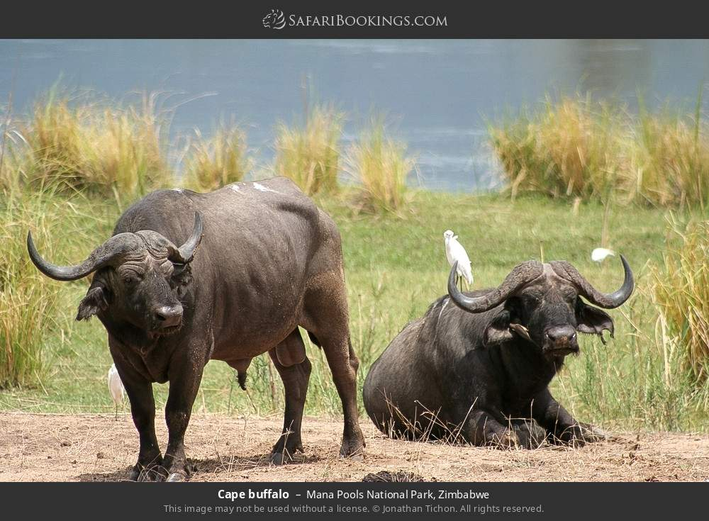 Cape buffalo in Mana Pools National Park, Zimbabwe