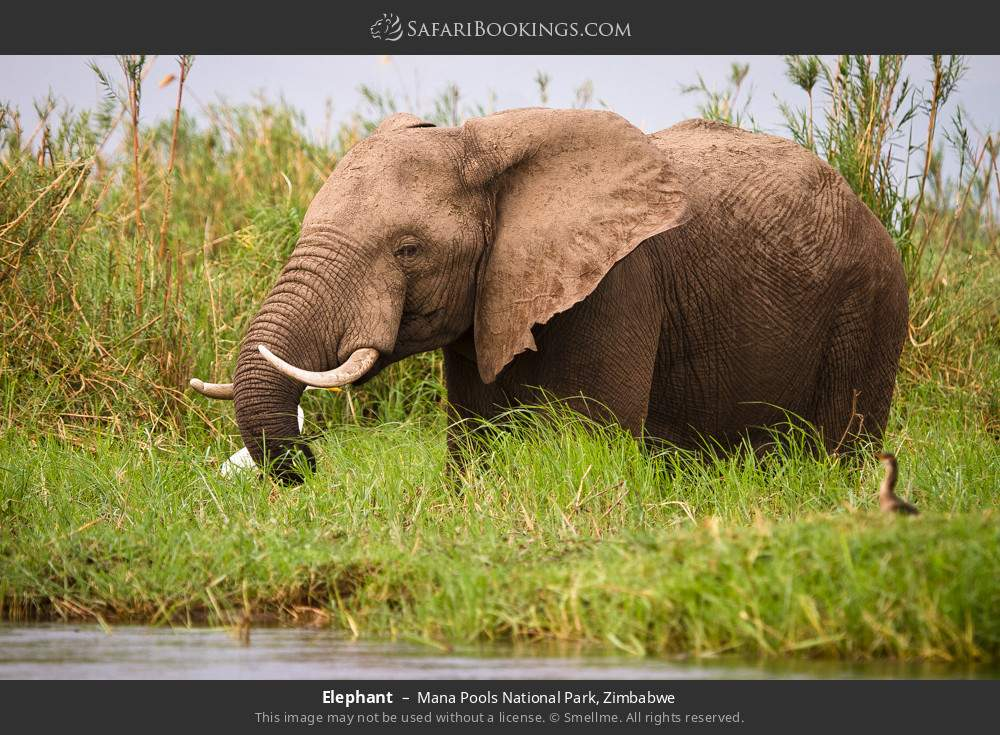 Elephant in Mana Pools National Park, Zimbabwe