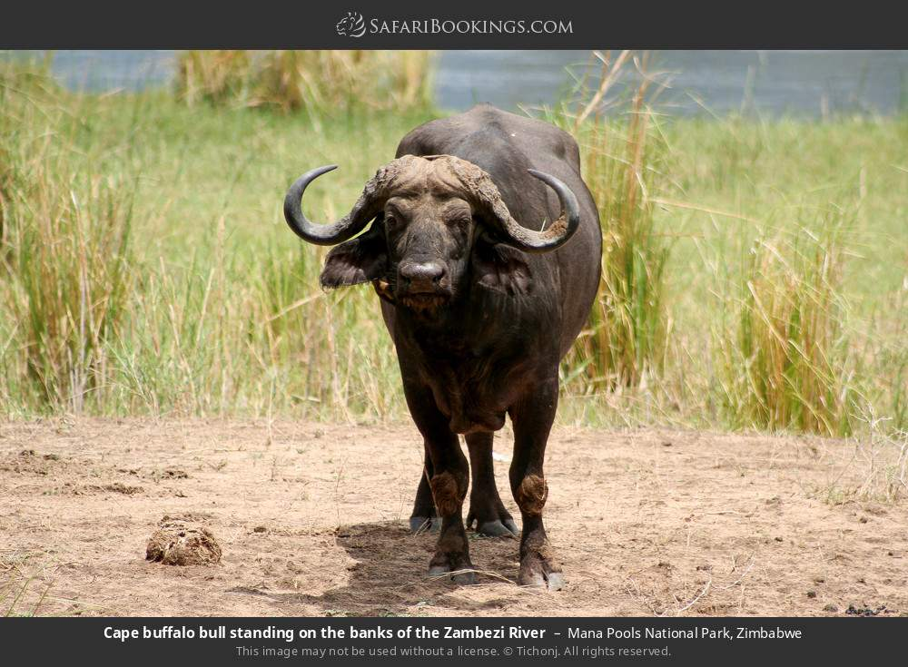 Cape buffalo bull standing on the banks of the Zambezi River in Mana Pools National Park, Zimbabwe