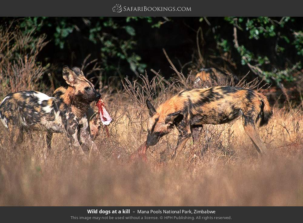 Wild dogs at a kill in Mana Pools National Park, Zimbabwe