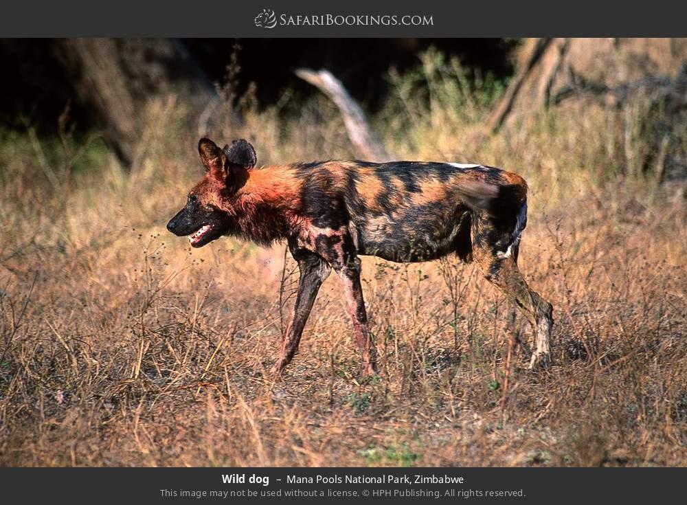 Wild dog in Mana Pools National Park, Zimbabwe