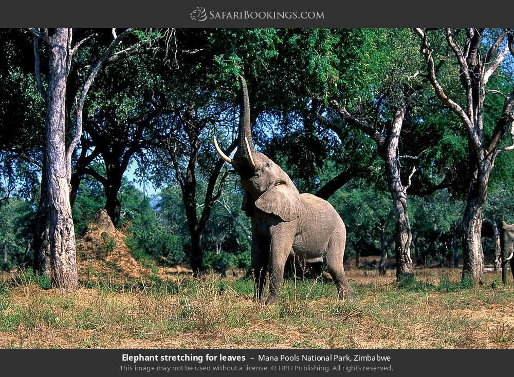 Elephant stretching for leaves in Mana Pools National Park, Zimbabwe